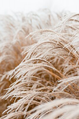 Affisch Abstract natural background of soft plants Cortaderia selloana. Frosted pampas grass on a blurry bokeh, Dry reeds boho style. Patterns on the first ice. Earth watching