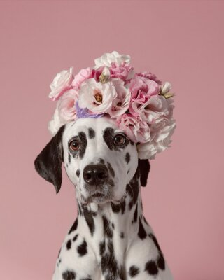 Affisch Adorable dalmatian dog with wreath on pink background. Dog portrait with floral crown. I love you. Happy Valentines Day concept