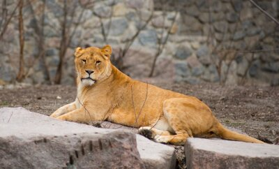 Affisch African Lion