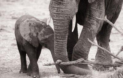 Affisch Afrikansk elefant kalv