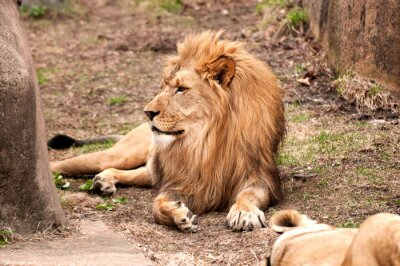 Affisch afrikansk lion
