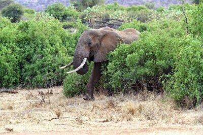 Affisch Afrikanska elefanter i savannen