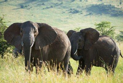Affisch Afrikanska elefanter på afrikanska savannen