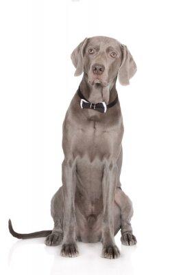 Affisch allvarlig weimaraner hund porträtt i en fluga