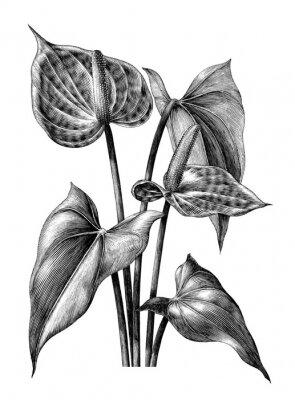 Affisch Anthurium botanisk vintage gravyr illustration clip art isolerad på vit bakgrund