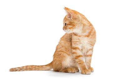 Affisch Apelsin, randig, liten kattunge