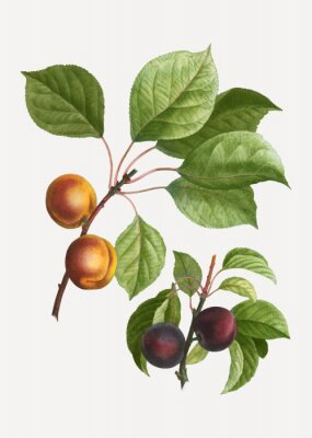 Affisch Apricots and plums