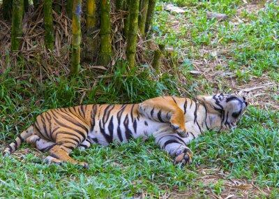 Affisch Asiatisk tiger.
