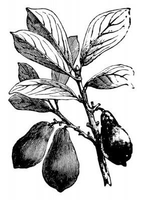 Affisch Avocado vintage illustration.