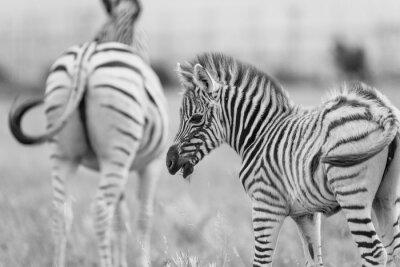 Affisch baby Zebra