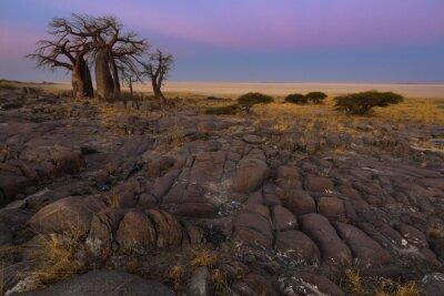 Affisch Baobabs i det tidiga morgonljuset