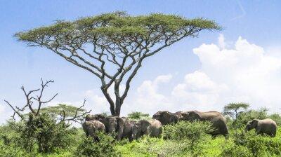 Affisch bebis elefant ikapp med sin besättning av elefanter som står under en akacia träd på Serengeti Savannah landskap