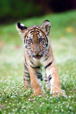 Affisch Bengal baby tiger vandrar över en äng.