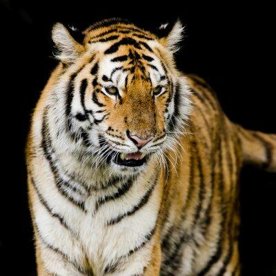 Affisch bengalisk tiger