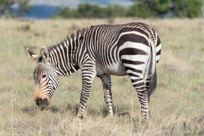 Affisch Berg zebra bete
