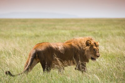 Affisch Big Young Lion i Serengeti National Park