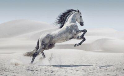 Affisch Bild presentera galopperande vita hästen