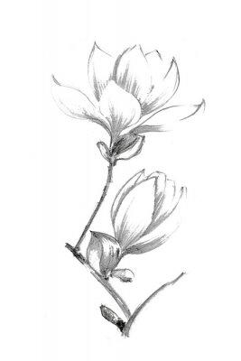 Affisch Black-white illustration with a pencil. White magnolia. Elegant botanical illustration.