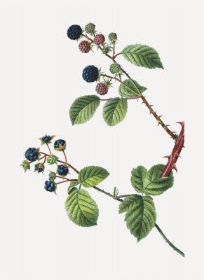 Affisch Blackberry bush