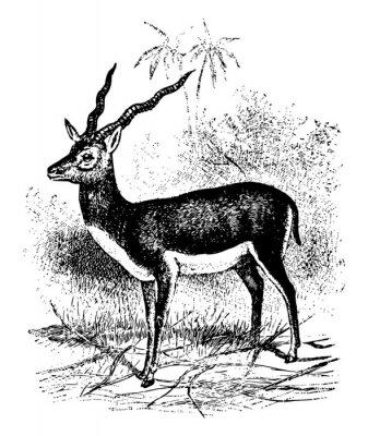 Affisch Blackbuck vintage illustration.