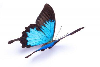 Affisch Blått och färgrik fjäril på vit bakgrund