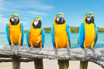 Affisch Blått och guld- Ara på tropiska vackra stranden och havet