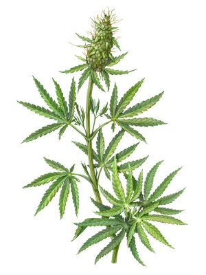 Affisch Cannabis Female Plant Pencil Illustration Isolated on White