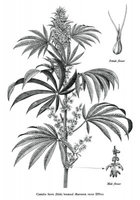Affisch Cannabis sativa male tree botanical vintage engraving illustration black and white clip art isolated on white background