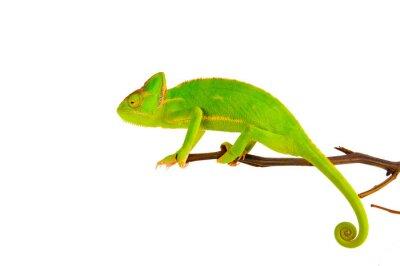 Affisch Chameleon på en gren