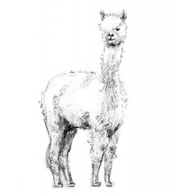 Affisch Charcoal drawing lama with forelock standing and looking forward