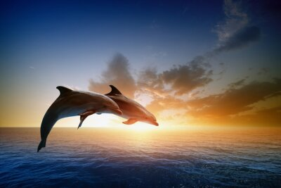 Affisch delfiner hoppa