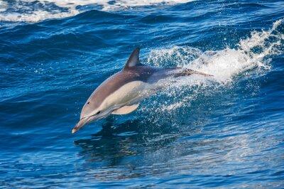 Affisch Dolphin hoppar utanför havet