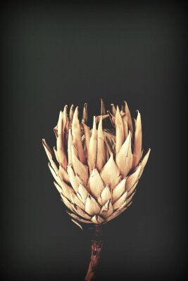 Affisch dried exotic flowers Protea on black background closeup vintage toned. poster