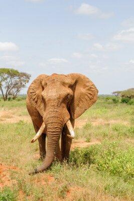 Affisch elefant