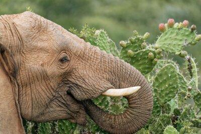 Affisch Elefant äta fikonkaktus