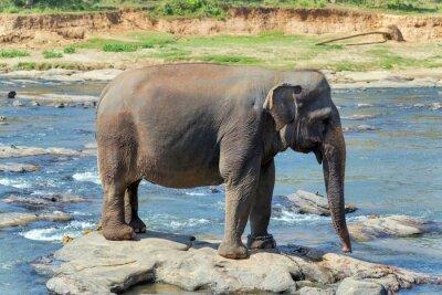 Affisch Elefant bad i floden Sri Lanka