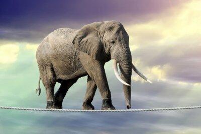 Affisch Elefant går på ett rep