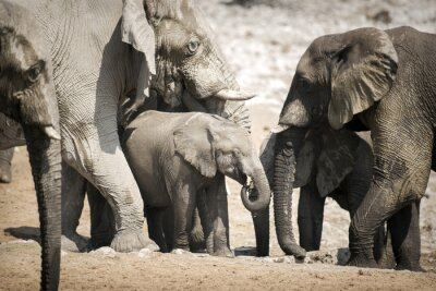 Affisch Elefant i Etosha National Park.