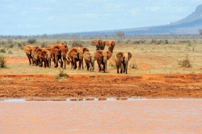 Affisch Elefant i nationalparken Kenya