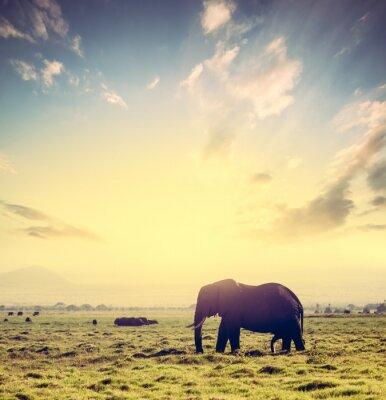 Affisch Elefant på afrikanska savannen i solnedgången. Safari i Amboseli, Kenya, Afrika
