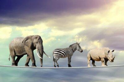 Affisch Elefant, zebra, noshörning gå på en lina