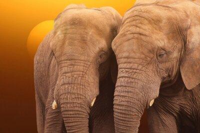 Affisch Elefanter soluppgång. Par elefanter tillsammans vid soluppgången.