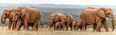 Affisch elefantflock