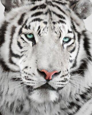 Affisch Elegant vit tiger porträtt