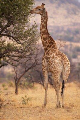 Affisch En stor giraff ätande blad från ett träd