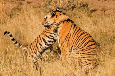 Affisch En tillgiven ögonblick mellan en Bengal tiger och hennes unge