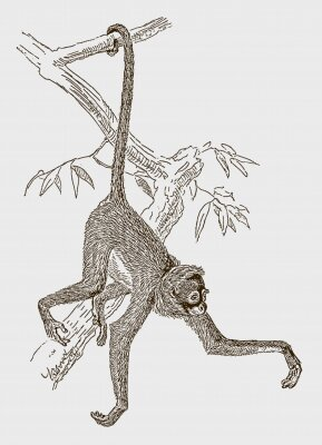 Affisch Endangered white-bellied spider monkey (ateles belzebuth) hanging with its tail at a branch. Illustration after an engraving from the 19th century