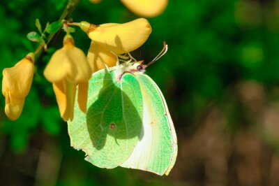 Affisch Farfalla Gonepteryx cleopatra