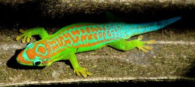 Affisch Färgrik turkos grön gecko