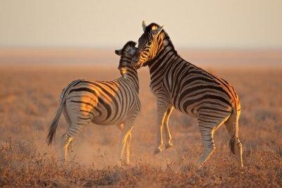 Affisch Fighting stäppzebra, Etosha National Park